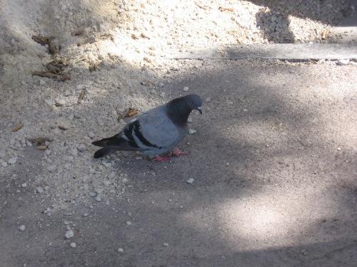 2aa88-damnpigeons